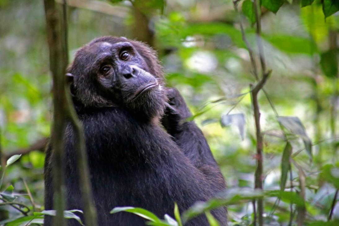 Uganda Primate safaris